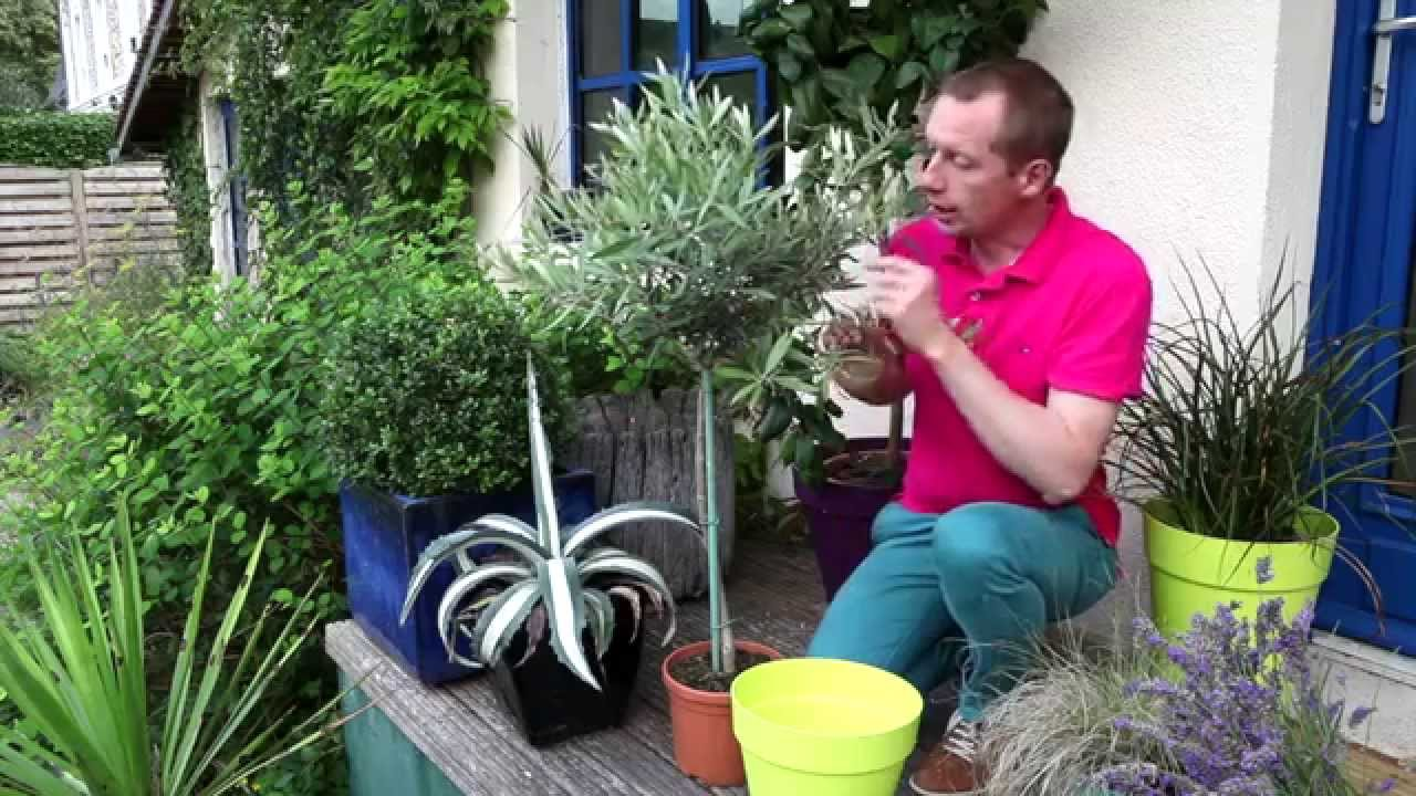 Comment arroser un olivier en pot for Comment arroser un rosier en pot